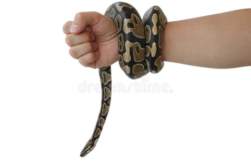 Η εικόνα του βασιλικού ή της σφαίρας python σε ετοιμότητα του ατόμου στοκ φωτογραφία με δικαίωμα ελεύθερης χρήσης