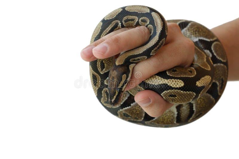 Η εικόνα του βασιλικού ή της σφαίρας python σε ετοιμότητα του ατόμου στοκ φωτογραφία