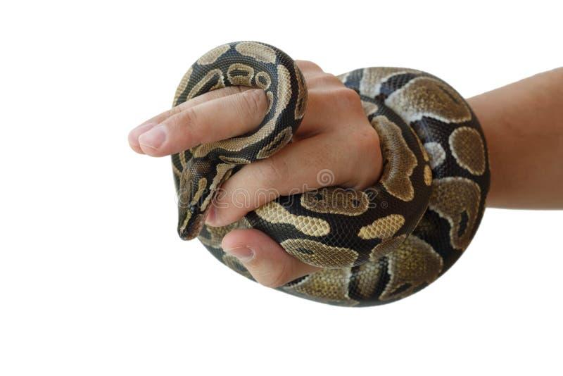 Η εικόνα του βασιλικού ή της σφαίρας python σε ετοιμότητα του ατόμου στοκ εικόνες με δικαίωμα ελεύθερης χρήσης