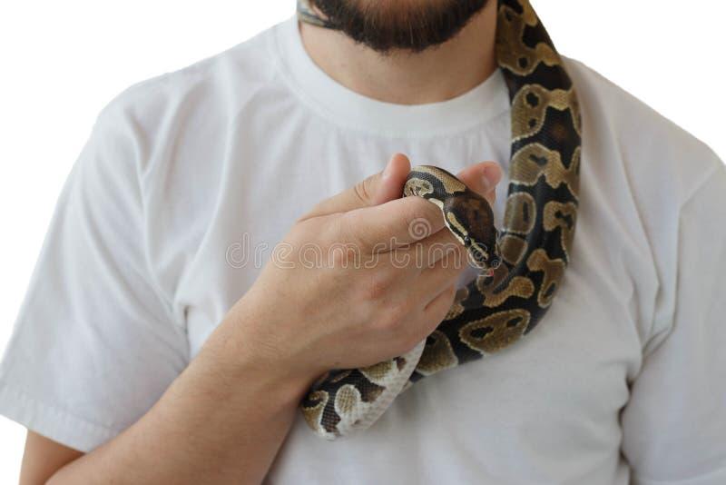 Η εικόνα του βασιλικού ή της σφαίρας python σε ετοιμότητα του ατόμου στοκ εικόνες