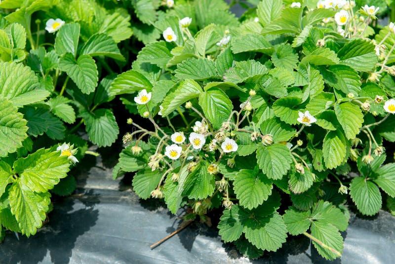 Η εικόνα των πράσινων θάμνων μιας φράουλας Φύτευση της τεχνολογίας θάμνων φραουλών στη γεωργία στοκ εικόνα