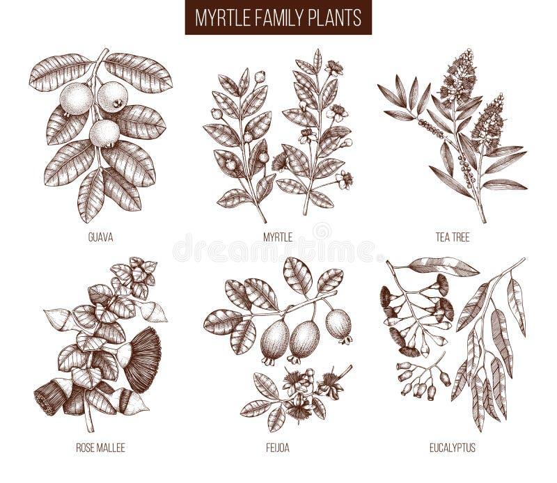 Η εκλεκτής ποιότητας συλλογή Myrtle της οικογένειας φυτεύει τις απεικονίσεις Συρμένο χέρι myrtus, δέντρο τσαγιού, φρούτα γκοϋαβών διανυσματική απεικόνιση