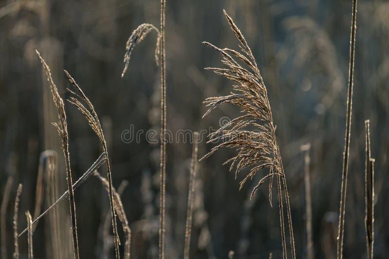 Η εκλεκτική μαλακή εστίαση της ξηράς χλόης παραλιών, κάλαμοι, καταδιώκει το φύσηγμα ι στοκ εικόνες
