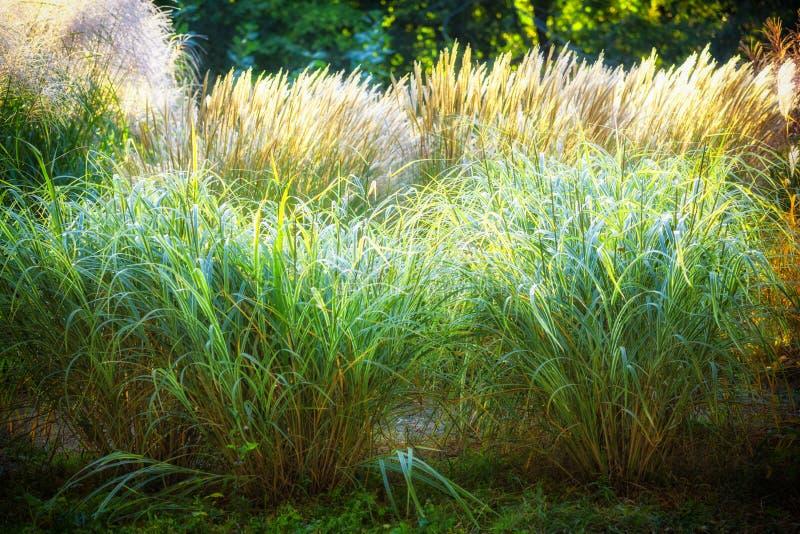 Η εκλεκτική μαλακή εστίαση της ξηράς χλόης παραλιών, κάλαμοι, καταδιώκει το φύσηγμα στον αέρα στη χρυσή ελαφριά, οριζόντια, θολωμ στοκ φωτογραφίες
