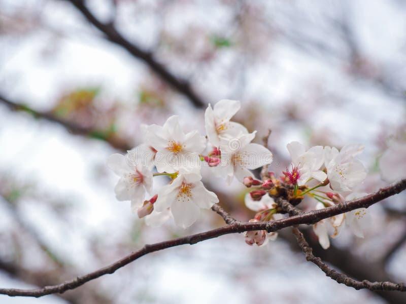 Η εκλεκτική μαλακή εστίαση του άσπρου άνθους κερασιών ή Sakura ανθίζει επάνω στο διασκορπισμένο υπόβαθρο στοκ εικόνα