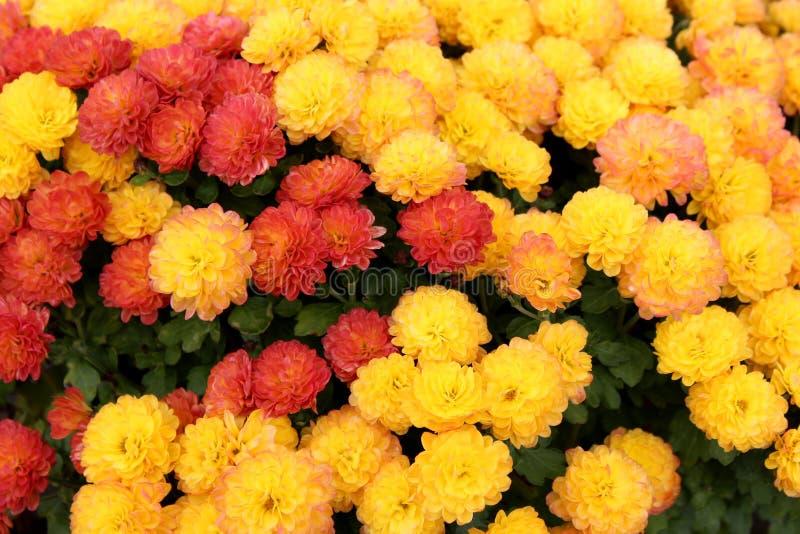 Η εκπληκτικά όμορφη εικόνα υποβάθρου της πτώσης ανθίζει στα πορτοκαλιά και κίτρινα χρώματα στον κήπο φθινοπώρου στοκ εικόνα