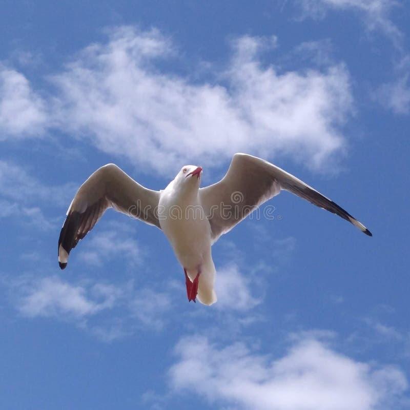 Η ελευθερία απεικονίζει Seagull στην πτήση στο πάρκο φύσης νησιών του Phillip στοκ εικόνες