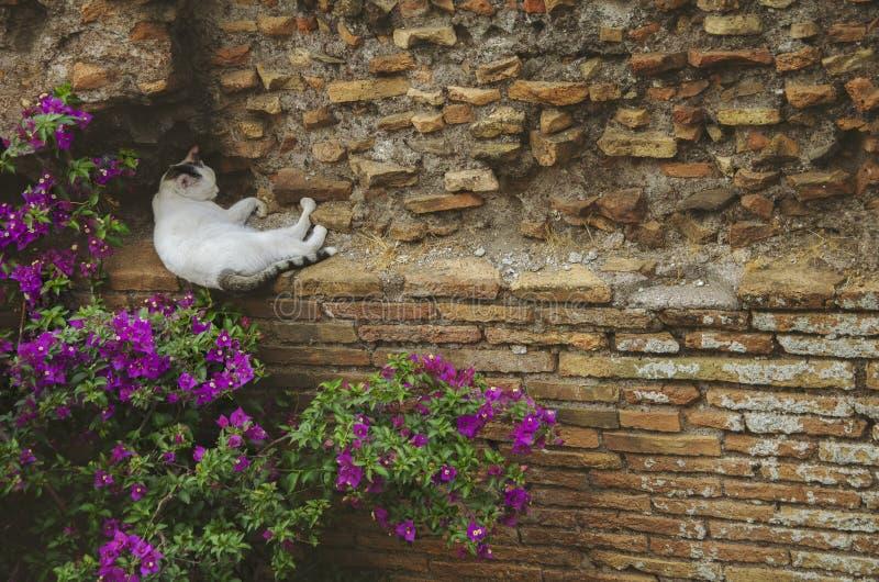 Η ενήλικη περιπλανώμενη άσπρη γάτα που παίρνει ένα NAP σε έναν τουβλότοιχο κοντά σε κάποιο ροζ ανθίζει στη Ρώμη, Ιταλία στοκ φωτογραφίες