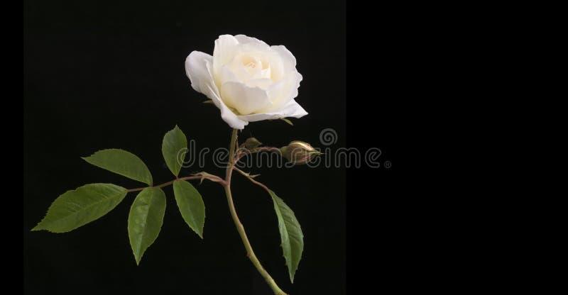 Η ενιαία άσπρη όμορφη άνθιση αυξήθηκε συνοδευόμενο bij μικρό μπουμπούκι τριαντάφυλλου που απομονώθηκε στο σκοτεινό μαύρο κλίμα στοκ φωτογραφία με δικαίωμα ελεύθερης χρήσης