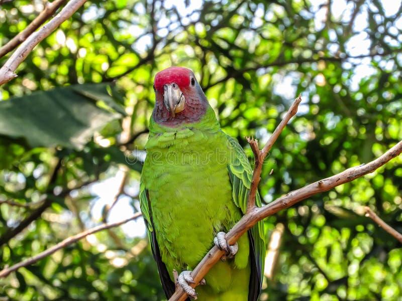 Η εξάλειψη απείλησε τον κόκκινος-παρακολουθημένο παπαγάλο του Αμαζονίου, Amazona Brasilie στοκ φωτογραφίες
