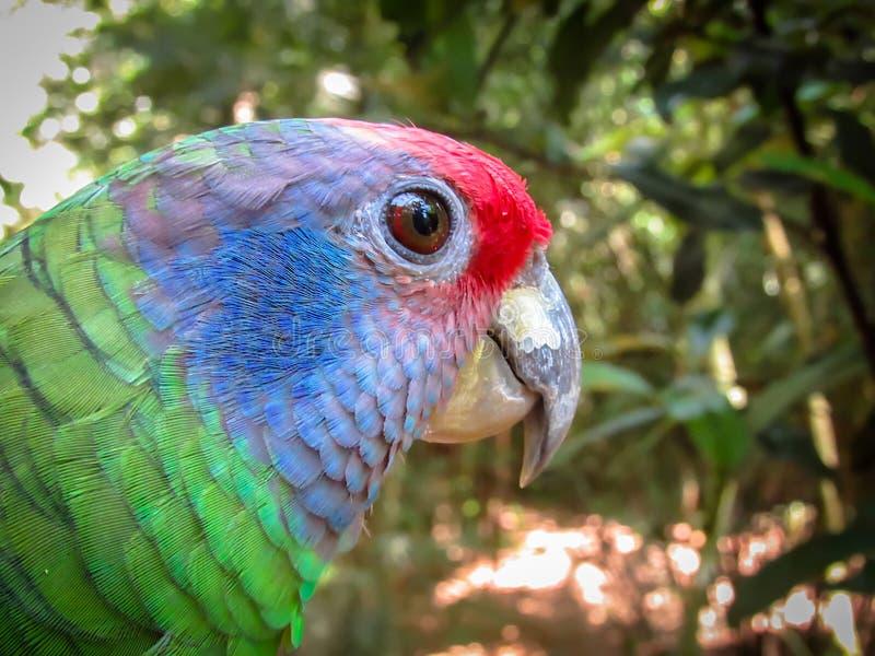 Η εξάλειψη απείλησε τον κόκκινος-παρακολουθημένο παπαγάλο του Αμαζονίου, Amazona Brasilie στοκ φωτογραφία με δικαίωμα ελεύθερης χρήσης