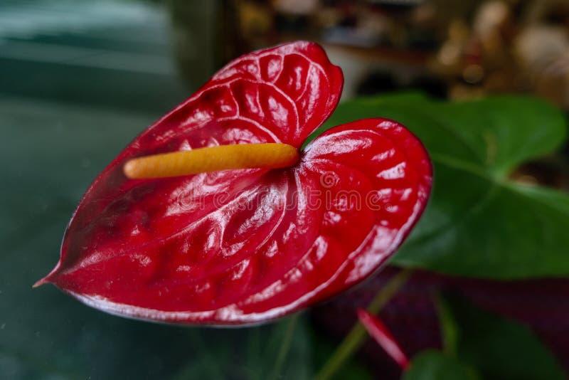 Η εξωτική κόκκινη κέρινη Anthurium λουλουδιών φλαμίγκο φύλλων ανάπτυξη στον κήπο ή το σπίτι και είναι δηλητηριώδης στοκ φωτογραφία με δικαίωμα ελεύθερης χρήσης