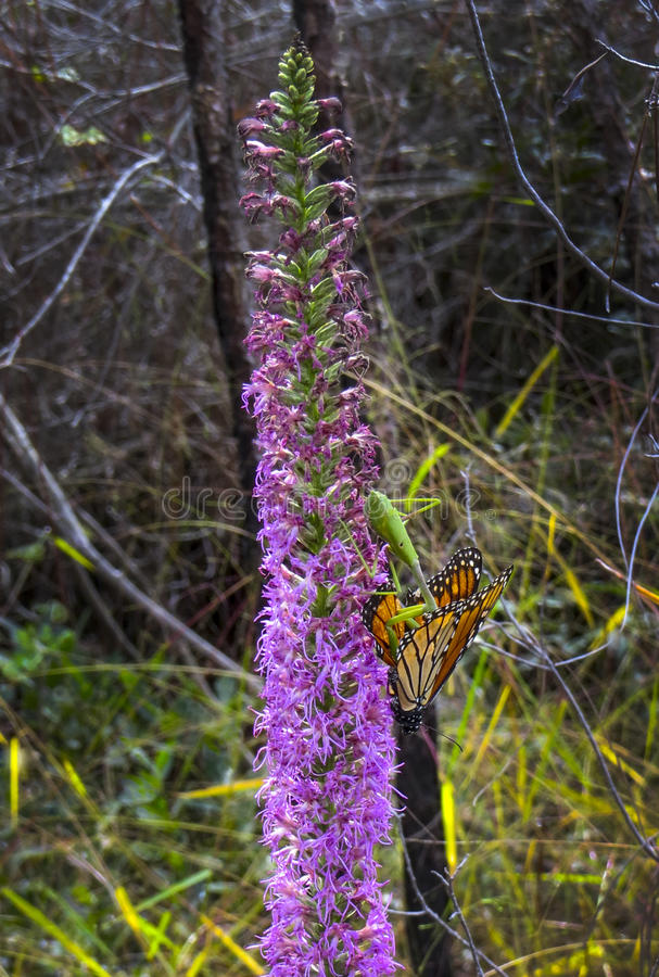 Download Η επίκληση Mantis συλλαμβάνει την πεταλούδα μοναρχών Στοκ Εικόνες - εικόνα από δάσος, wildlife: 62717918