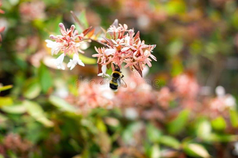 Η επικονίαση μελισσών μελιού ανθίζει ή η συλλογή της γύρης στον ανθίζοντας θάμνο στα ιταλικά πάρκο Μαλακή εστίαση και θολωμένο fl στοκ εικόνα με δικαίωμα ελεύθερης χρήσης