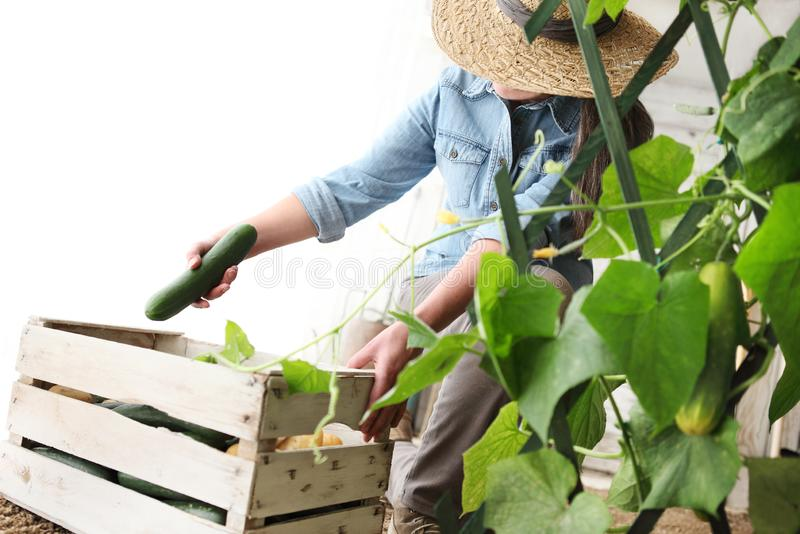 Η εργασία αγροτών γυναικών στο φυτικό κήπο, συλλέγει ένα αγγούρι μέσα στοκ εικόνα με δικαίωμα ελεύθερης χρήσης