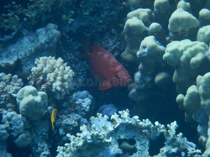 Η Ερυθρά Θάλασσα παρουσιάζει στοκ φωτογραφίες