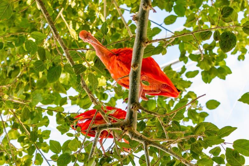 Η ερυθρά θρεσκιόρνιθα δύο πουλιών θαυμάζεται από τον κοκκινωπό χρωματισμό των φτερών στοκ φωτογραφία με δικαίωμα ελεύθερης χρήσης
