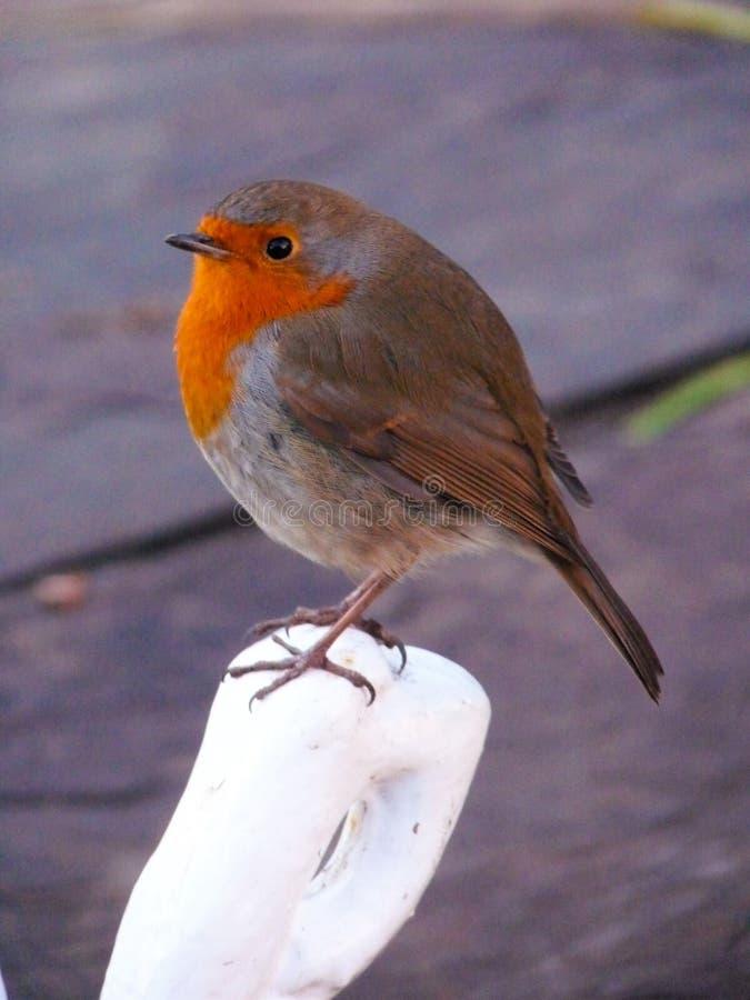 Η ερυθρόλαιμη Robin στοκ φωτογραφία