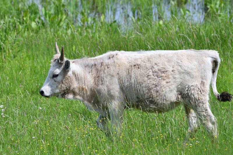 Η εσωτερική άσπρη αγελάδα βόσκει σε ένα λιβάδι στη χλόη στοκ φωτογραφία
