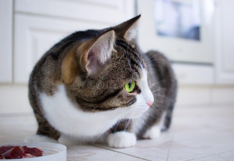 Η εσωτερική συνεδρίαση γατών που ταΐζει πλησίον το κύπελλο με το κρέας κοιτάζει γύρω στοκ εικόνα