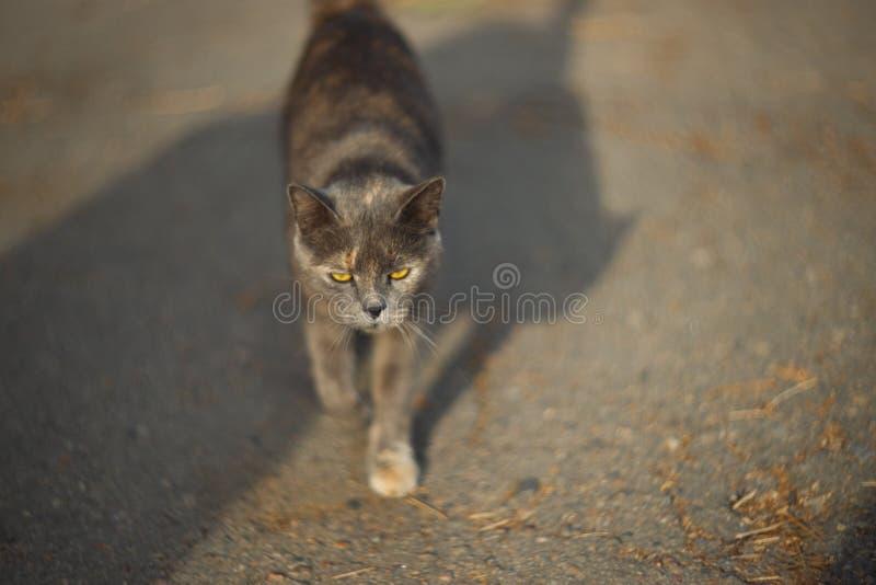 Η ευμετάβλητη άστεγη γκρίζα γάτα εξετάζει σας σε μια μεγάλη πόλη Περίπατοι γατών στην άσφαλτο Η γάτα είναι άστεγη στοκ εικόνα με δικαίωμα ελεύθερης χρήσης