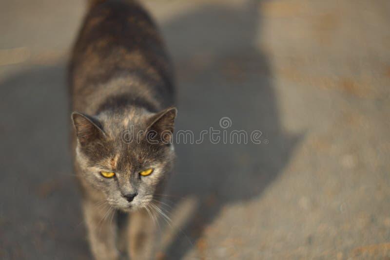 Η ευμετάβλητη άστεγη γκρίζα γάτα εξετάζει σας σε μια μεγάλη πόλη Περίπατοι γατών στην άσφαλτο Η γάτα είναι άστεγη στοκ εικόνες με δικαίωμα ελεύθερης χρήσης
