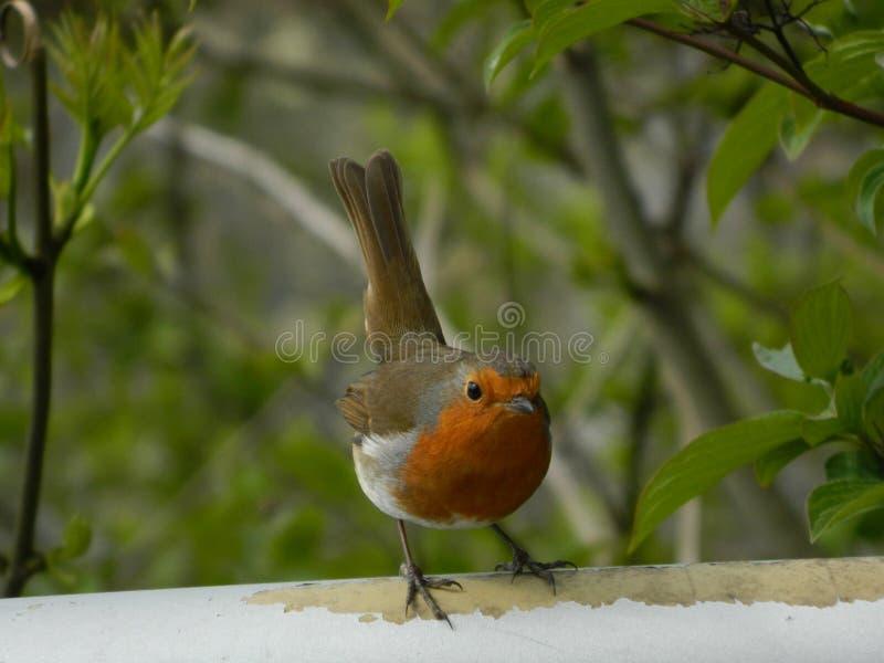 Η ευρωπαϊκή κόκκινη Robin εσκαρφάλωσε σε έναν πόλο μετάλλων στοκ φωτογραφία