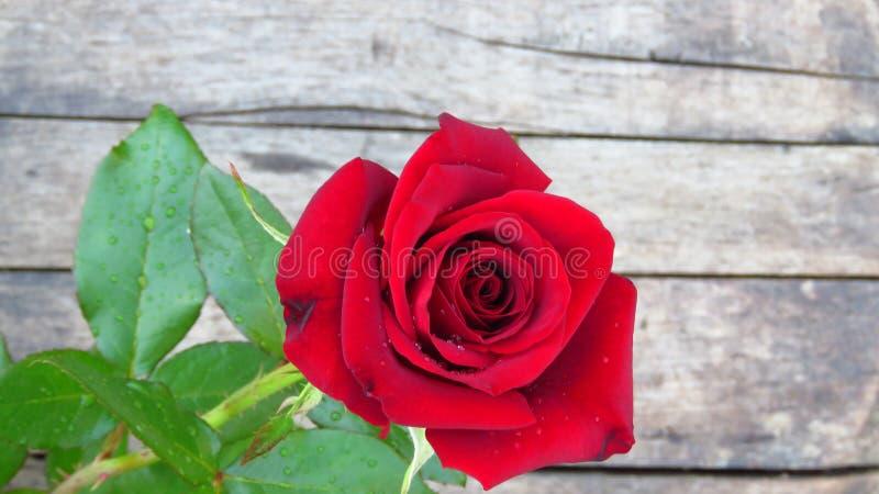Η ζάλη κόκκινη αυξήθηκε στο ξύλινο υπόβαθρο την ημέρα βαλεντίνων ` s στοκ φωτογραφίες