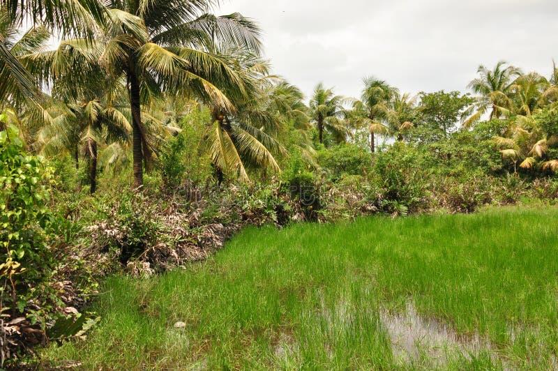 Η ζούγκλα στην Ινδονησία Ιάβα Οι φτέρες και οι φοίνικες δέντρων στις κλίσεις του shit στοκ φωτογραφίες