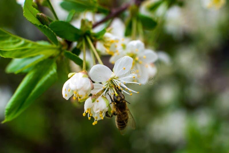 Η ζωηρόχρωμη μέλισσα συλλέγει τη γύρη από τα άνθη κερασιών με τα proboscis της στοκ φωτογραφίες με δικαίωμα ελεύθερης χρήσης