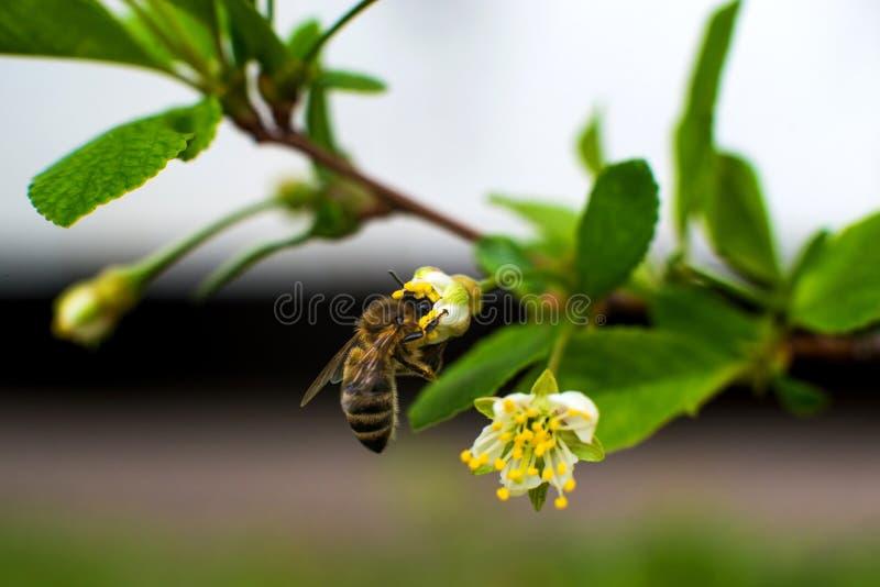 η ζωηρόχρωμη μέλισσα συλλέγει τη γύρη από τα άνθη κερασιών με τα proboscis της στοκ εικόνες με δικαίωμα ελεύθερης χρήσης