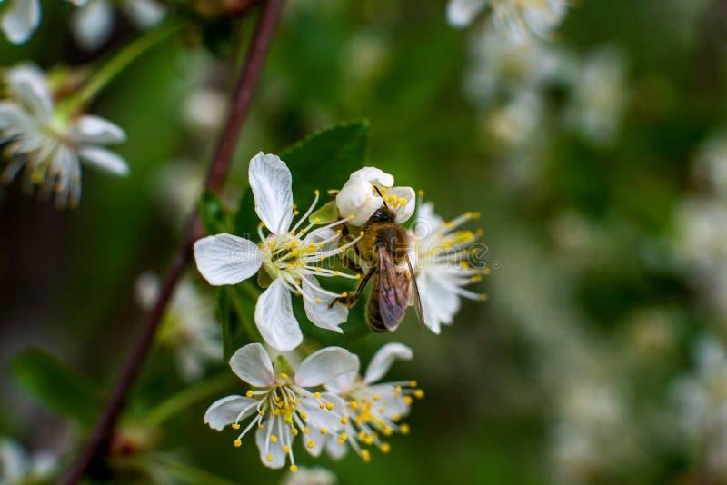 Η ζωηρόχρωμη μέλισσα συλλέγει τη γύρη από τα άνθη κερασιών με τα proboscis της στοκ φωτογραφία με δικαίωμα ελεύθερης χρήσης