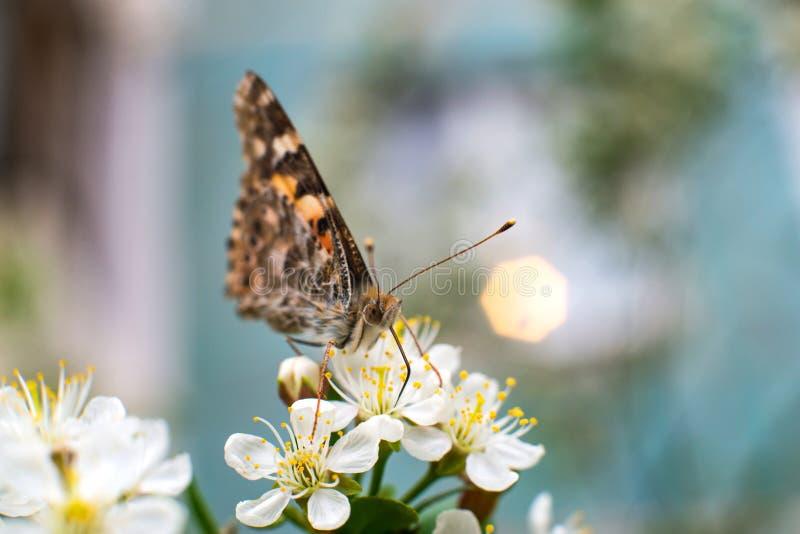 Η ζωηρόχρωμη πεταλούδα συλλέγει τη γύρη από τα άνθη κερασιών με τα proboscis της στοκ φωτογραφία