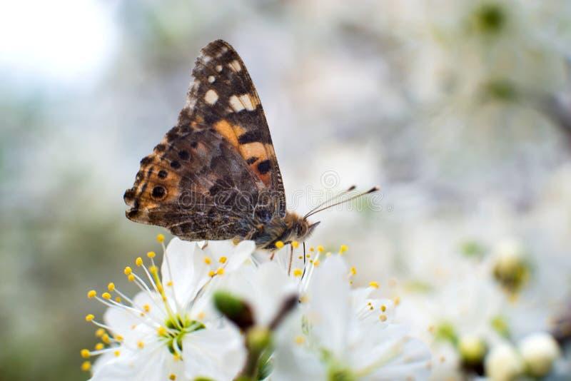 Η ζωηρόχρωμη πεταλούδα συλλέγει τη γύρη από τα άνθη κερασιών με τα proboscis της στοκ φωτογραφίες