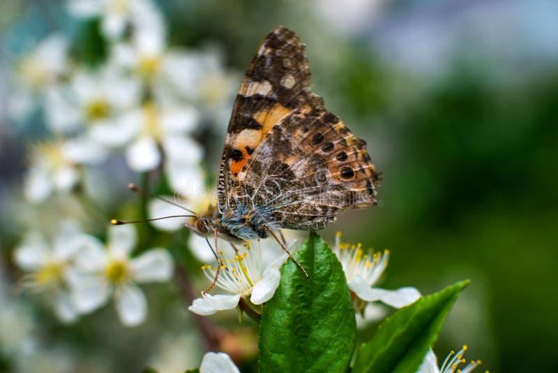 Η ζωηρόχρωμη πεταλούδα συλλέγει τη γύρη από τα άνθη κερασιών με τα proboscis της στοκ εικόνες