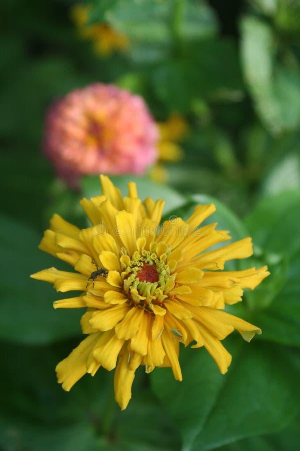 Η ηλιοφάνεια-διαμορφωμένη χρυσή Zinnia προσελκύει pollinators και τους ανθρώπους στοκ εικόνες