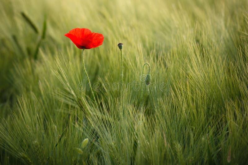 Η ηλιοφώτιστη κόκκινη άγρια παπαρούνα, βλασταίνεται με το ρηχό βάθος της οξύτητας, σε ένα υπόβαθρο ενός τομέα σίτου Τοπίο με την  στοκ εικόνες