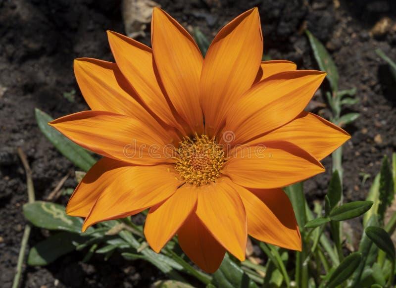 Η θαυμάσια πορτοκαλιά Daisy στοκ εικόνες με δικαίωμα ελεύθερης χρήσης
