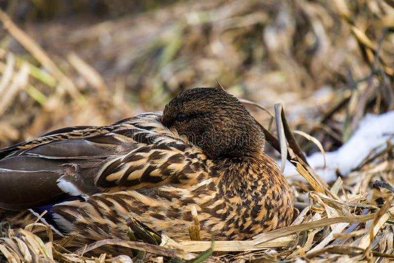 Η θηλυκή άγρια πάπια πρασινολαιμών έκρυψε το ράμφος της μεταξύ των φτερών στοκ εικόνα με δικαίωμα ελεύθερης χρήσης