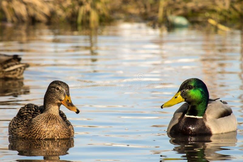 Η θηλυκή άγρια πάπια πρασινολαιμών και μια πάπια κολυμπούν σε μια λίμνη στοκ εικόνα με δικαίωμα ελεύθερης χρήσης