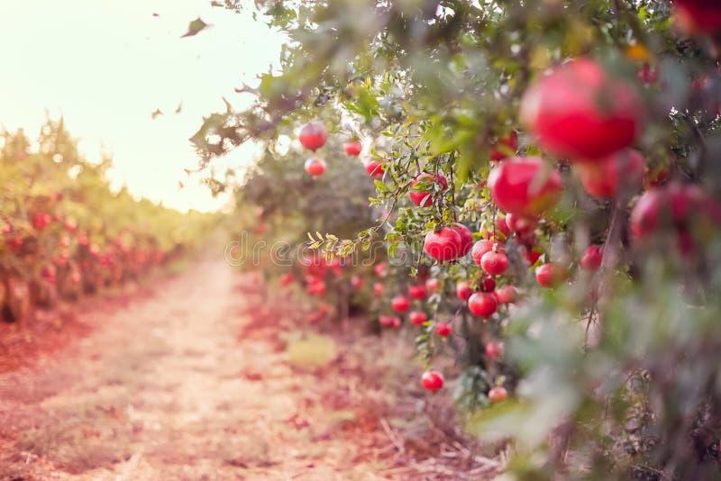 Η θολωμένη αλέα στον κήπο με τα ώριμα φρούτα ροδιών που κρεμούν σε ένα δέντρο διακλαδίζεται Έννοια συγκομιδών Φως ηλιοβασιλέματος στοκ εικόνες με δικαίωμα ελεύθερης χρήσης
