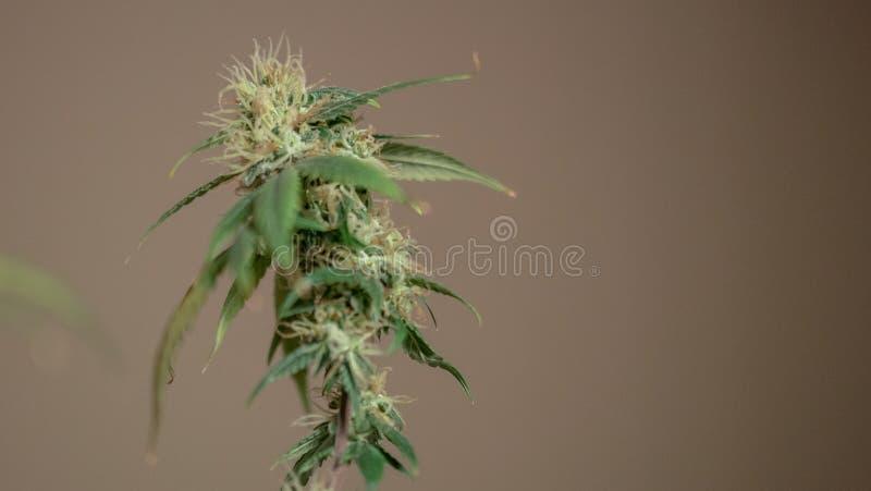 Η ιατρική μαριχουάνα βλαστάνει την κινηματογράφηση σε πρώτο πλάνο Καννάβεις Grownim εσωτερικές στοκ εικόνες με δικαίωμα ελεύθερης χρήσης