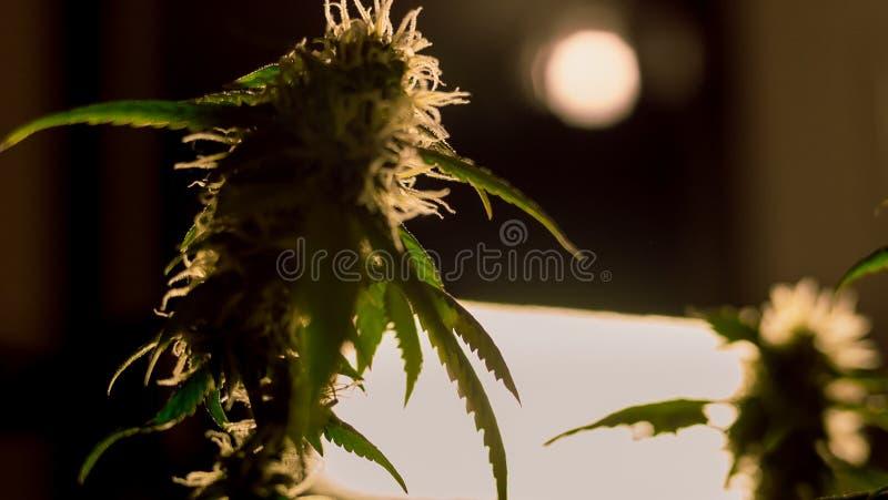 Η ιατρική μαριχουάνα βλαστάνει την κινηματογράφηση σε πρώτο πλάνο Καννάβεις Grownim εσωτερικές στοκ εικόνες