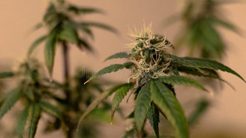 Η ιατρική μαριχουάνα βλαστάνει την κινηματογράφηση σε πρώτο πλάνο Καννάβεις Grownim εσωτερικές στοκ φωτογραφία