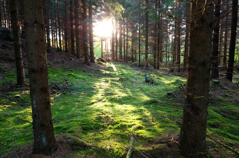 Ηλιαχτίδες στο σουηδικό δάσος στοκ φωτογραφία