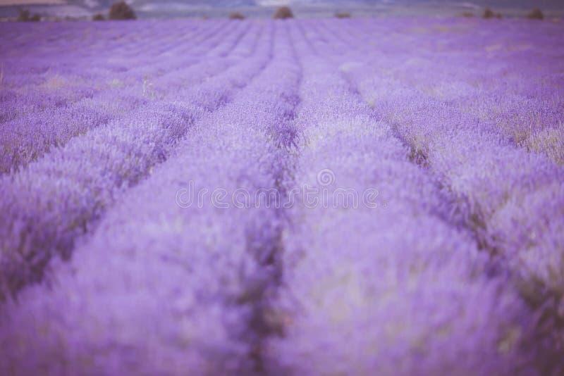 Ηλιοβασίλεμα πέρα από έναν ιώδη lavender τομέα στην Προβηγκία στοκ φωτογραφία με δικαίωμα ελεύθερης χρήσης