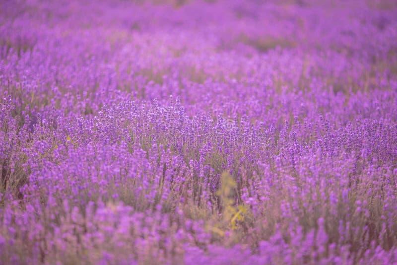 Ηλιοβασίλεμα πέρα από έναν ιώδη lavender τομέα στην Προβηγκία στοκ εικόνες