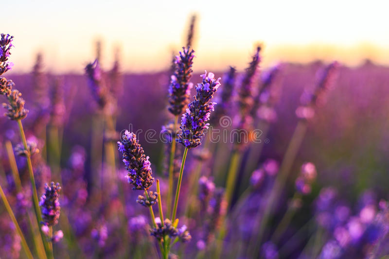 Ηλιοβασίλεμα πέρα από έναν ιώδη lavender τομέα στην Προβηγκία στοκ φωτογραφίες