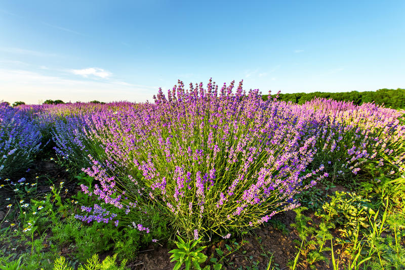 Ηλιοβασίλεμα πέρα από έναν ιώδη lavender τομέα στοκ φωτογραφία με δικαίωμα ελεύθερης χρήσης