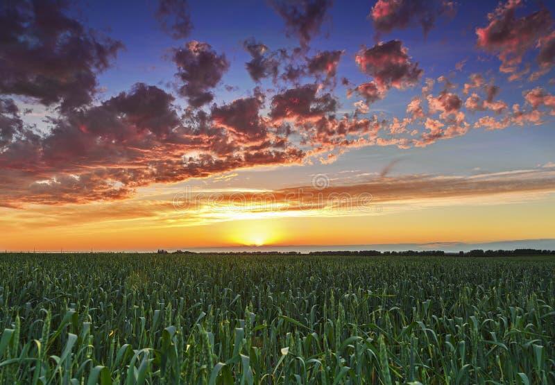 Ηλιοβασίλεμα πέρα από τις ακτίνες ήλιων τομέων σίτου στοκ φωτογραφία